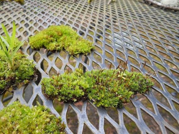 Lot of 7 Pieces of Various Live Terrarium Moss