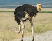 Ducking Ostrich - 8x10 Fine Art Photograph Print - Kenya, Africa Bird Photo