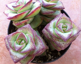 Succulent Plant - Crassula Perforata String of Buttons