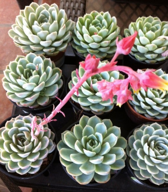 Succulent Plant - Echeveria 'Mexican Snowball' from ...