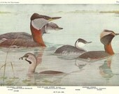 """Grese - Holboell, Pied-Billed and Horned Grese from an Original 1936 """"Birds Of America"""" Vintage Book Print"""