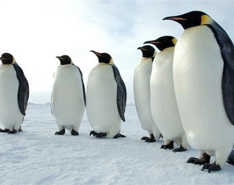 EMPEROR PENGUINS Cross Stitch Pattern from a Vintage Photograph  -  Fine Art Photography