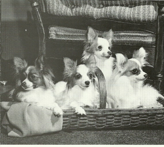 A Basket Full Of Papillons   This is an Original 1983 AKC Vintage Book Print