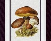 Mushroom 41 Vintage Illustration Wall Decor Print 8 x 10 (vzp041)