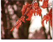Reserved- Autumn leaves - Fine art print - Rusty leaves - red brown amber light autumn tree branch rustic home wall art office decor.
