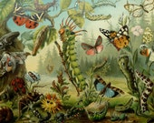 1897 Antique fine lithograph of BUTTERFLIES, BEETLES, INSECTS, different species. Larvae. Entomology. 119 years old gorgeous print.