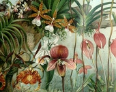 1897 Antique fine lithograph of ORCHIDS. 115 years old gorgeous print.