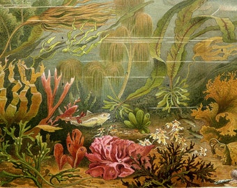 1897 Antique fine lithograph of ALGAE, SEASCAPE, Sea Life, Alga, Seaweed. 119 years old gorgeous print.