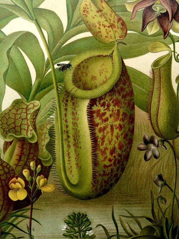 1897 Antique fine lithograph of CARNIVOROUS and INSECTIVOROUS PLANTS. 115 years old gorgeous print.