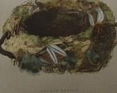 Antique Nest & Egg Nature Print by Morris.........GOLDEN ORIOLE..Pl. CV