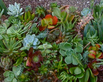 75 SUCCULENT CUTTINGS, Wholesale, Wedding Favors