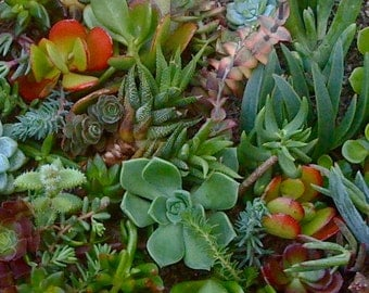 35 SUCCULENT CUTTINGS, Succulent Wedding Favors, Succulent plants, Succulent Garden