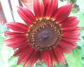 Autumn Beauty Sunflower Seeds (30 Seeds/Pack) - FREE SHIPPING