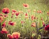 "Poppies field - Italian country - Flower-  - 8""x12"" wall decor print"