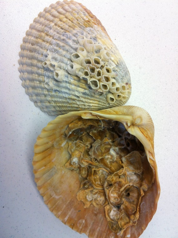 Two Encrusted Florida Sea Shells with Barnacles and Sea Worms in Gray Orange Tan Yellow (92)