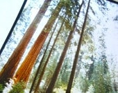 vintage redwoods photograph 8 by 10