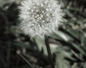 """Dandy-lion, we called them """"Wisher's"""" when we were kids. Make a wish blow them into the wind."""