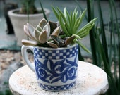 Succulents Planted in a Blue and White Glazed Recycled Cup