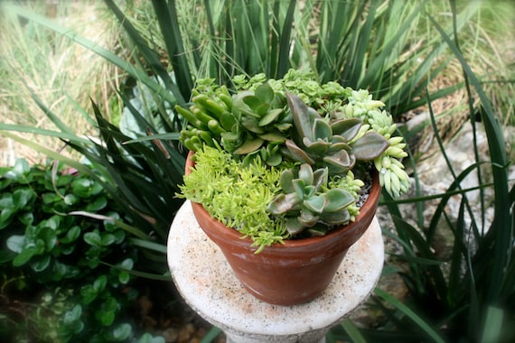 5 Succulent Species Planted in Brown Rustic Classic Pot