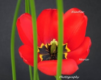 Believe In  Me ~ Spring Tulip 8x10 Fine Art Photography Print