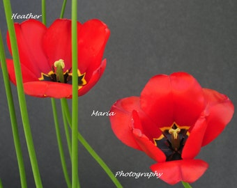 "8x10 Fine Art Photography Print ""Wide Open"" Spring Tulip"