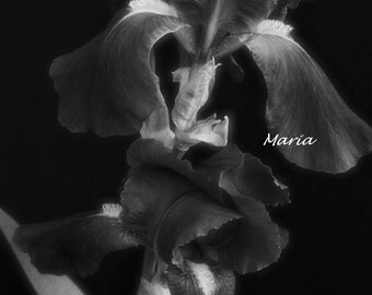Fine Art Set of 3 photos 8x12 Irises - Valor, Elegant, Simple