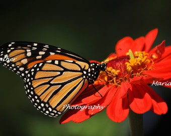 Feeding Time, the love of butterflies and zinnia flowers Fine Art Photography 8x12 print