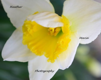 "Dafodill 8x12 fine art photography print ""Is it really Mid-March"" early spring bloom"