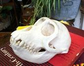 Real Monkey Skull RESERVED