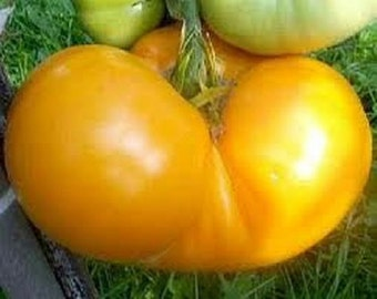 Yellow Brandywine Tomato Seeds Heirloom Non GMO