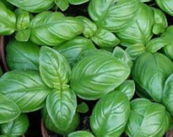 Italian Large Leaf Heirloom Basil Seeds Non GMO