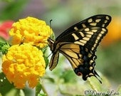 Nature Photography Swallowtail Butterfly on Yellow Flowers Fine Art Print Hello Yellow Spring Art
