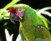 Green Parrot Photo Bird Photography Tropical Nature Art Military Macaw Picture 8x10 Print - NatureVisionsToo