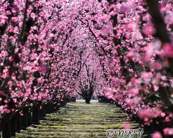 Pink flower photography orchard tree photo spring peach tree for Tree with red flowers