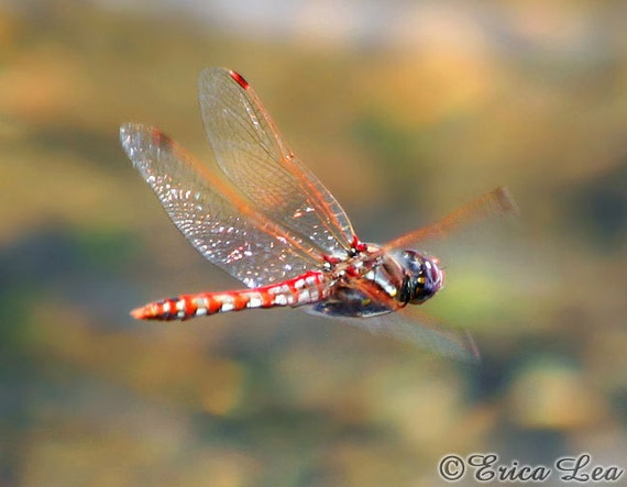Flying Red Dragonfly Photo Nature Photography Rustic Wall Art Print 5x7 8x10 11x14