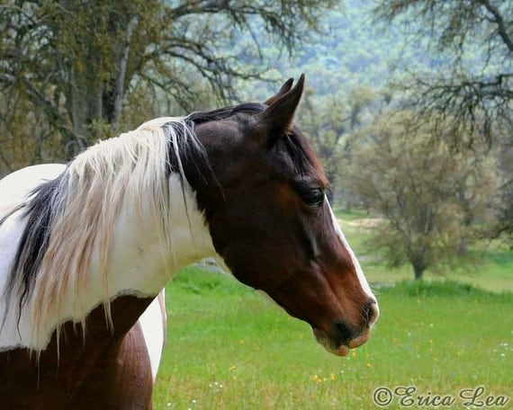 Paint Quarter Horse Photo Pretty Pinto Picture Western Wall Art Photograph 11x14 Print
