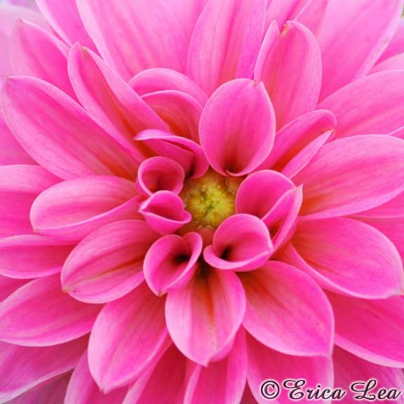 hot pink flower painting  crafthubs, Natural flower