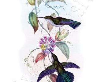 HUMMINGBIRDS Instant Download large digital download, vintage illustration 056