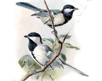 Titmouses BIRDS Instant Download, titmouse vintage illustration 069