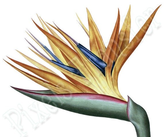 Instant Download Large Digital Image BIRD of PARADISE in color, vintage flower illustration REDOUTE 016