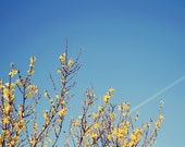 5x7 Photo Print - Spring Nature Photography - spring nature tree photography yellow blue skies trees wall art - 'Branches of Yellow'