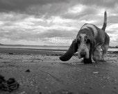 Animal Photograph Basset Dog on Beach in Scotland black and white 7x5