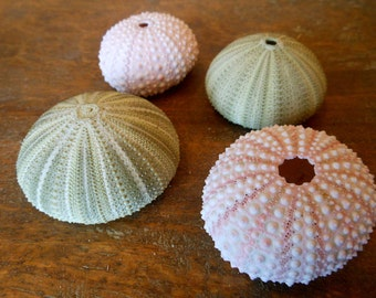 Beach Decor Sea Urchins - Natural Seashells - Coastal home decor - Seashell Supply