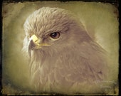 "Photography PRINT - Hawk Portrait - 8"" x 10"" Print - Animal Bird Photography - Fine Art Photography"
