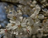 Spring time white flowering tree.  FREE shipping to the lower 48