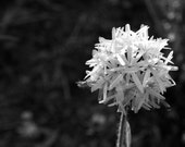 """Black White Photography - abstract black white photo nature wall art prints decor fine art photography - 5x7 Photograph, """"straw flower"""""""