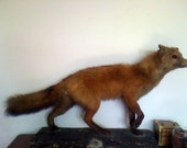 "Full mount taxidermy fox. Late 60's ""Bux Le Fux."""