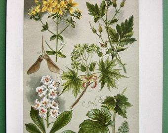 1890s BOTANICAL PRINT Field Flowers St. Johnswort Horse Chestnut