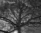 Aspen: Fine Art Photography, Black & White, nature, landscape, 18 x 12