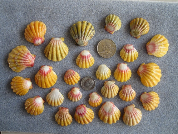 """25 Kauai Sunrise Shells """" Extra Super Value Pack""""  Great for Collectors and Jewelry Makers"""